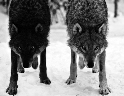 twinwolves